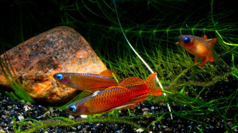 Red Neon Blue Eye - Pseudomugil luminatus