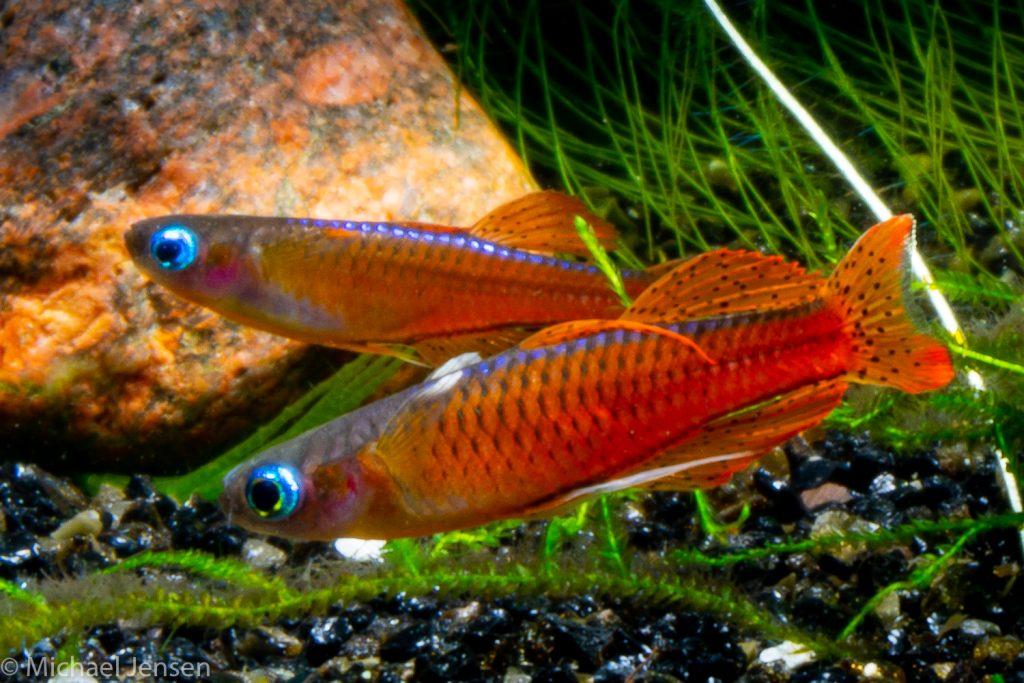 A pair of The Red Neon Blue Eye, Pseudomugil luminatus