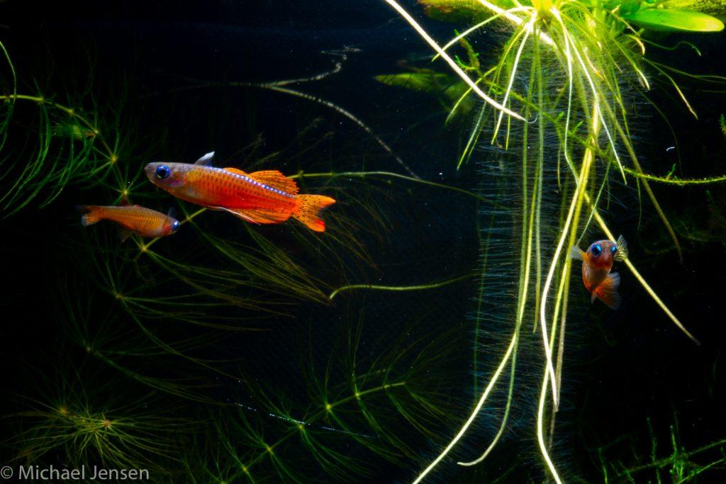 The Red Neon Blue Eye, Pseudomugil luminatus with plants in an aquarium